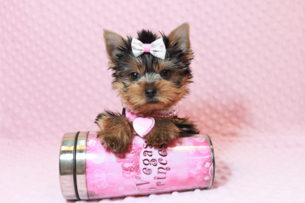 Harley Quinn - Teacup Yorkie Has Found A Loving Home With Nicole in Las Vegas, NV 89177-12346