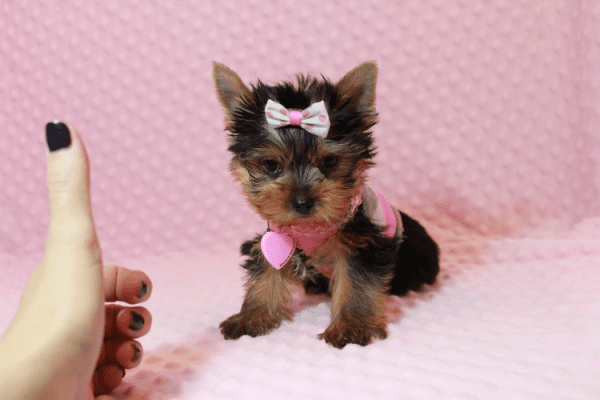 Harley Quinn - Teacup Yorkie Has Found A Loving Home With Nicole in Las Vegas, NV 89177-12341