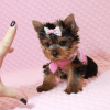 Harley Quinn - Teacup Yorkie Has Found A Loving Home With Nicole in Las Vegas, NV 89177-0