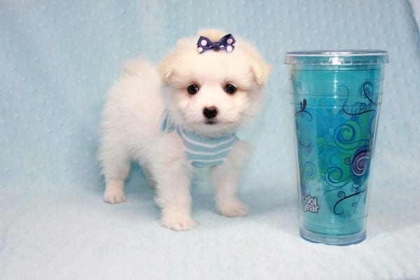 Harry Potter - Teacup Pomtese MaltePom puppy Found His Loving Home with Stacy from Burbank CA 91505-12258