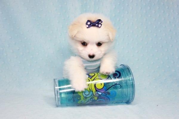 Harry Potter - Teacup Pomtese MaltePom puppy in CA