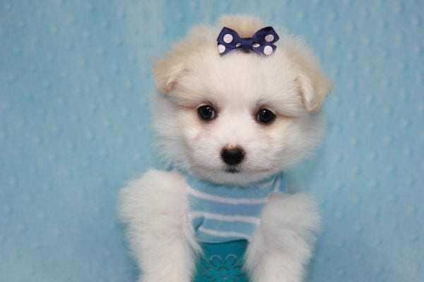 Harry Potter - Teacup Pomtese MaltePom puppy Found His Loving Home with Stacy from Burbank CA 91505-12255