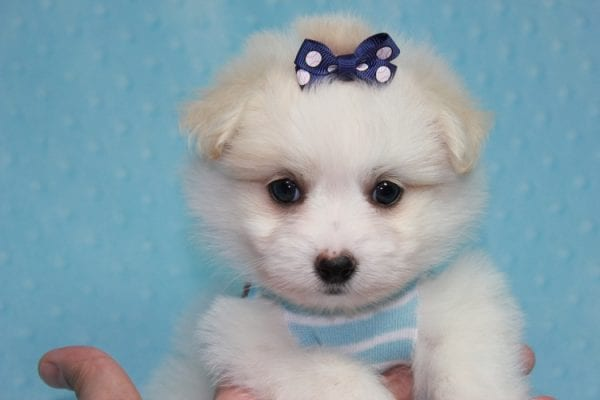 Harry Potter - Teacup Pomtese MaltePom puppy Found His Loving Home with Stacy from Burbank CA 91505-12252