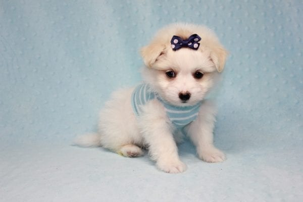 Harry Potter - Teacup Pomtese MaltePom puppy Found His Loving Home with Stacy from Burbank CA 91505-12249