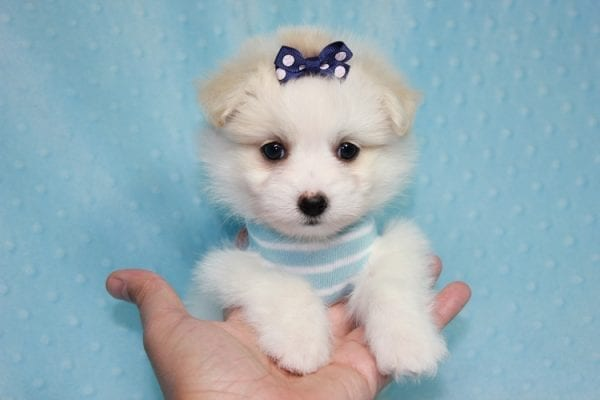 Harry Potter - Teacup Pomtese MaltePom puppy Found His Loving Home with Stacy from Burbank CA 91505-12257