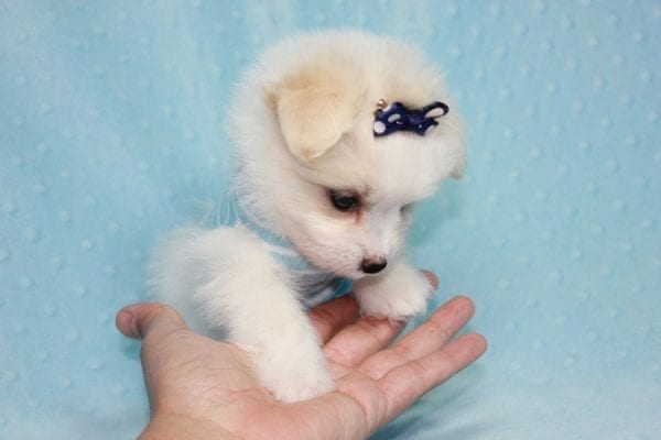 Harry Potter - Teacup Pomtese MaltePom puppy Found His Loving Home with Stacy from Burbank CA 91505-12251
