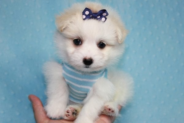 Harry Potter - Teacup Pomtese MaltePom puppy Found His Loving Home with Stacy from Burbank CA 91505-12254