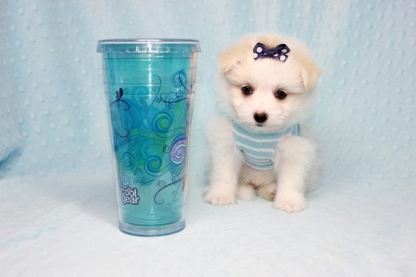 Harry Potter - Teacup Pomtese MaltePom puppy Found His Loving Home with Stacy from Burbank CA 91505-12256