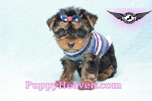 Ken Jones - Teacup Yorkie Puppy Found A New Loving With Ruby Dewberry Park Ca 91320-11039