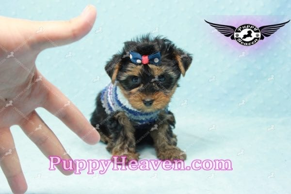Ken Jones - Teacup Yorkie Puppy Found A New Loving With Ruby Dewberry Park Ca 91320-11042