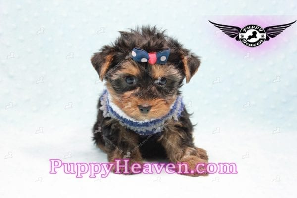 Ken Jones - Teacup Yorkie Puppy Found A New Loving With Ruby Dewberry Park Ca 91320-11045