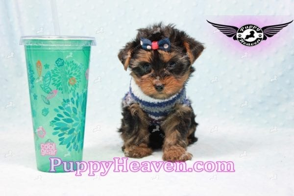 Ken Jones - Teacup Yorkie Puppy Found A New Loving With Ruby Dewberry Park Ca 91320-0