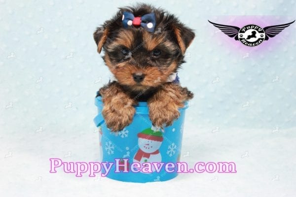 Ken Jones - Teacup Yorkie Puppy Found A New Loving With Ruby Dewberry Park Ca 91320-11038
