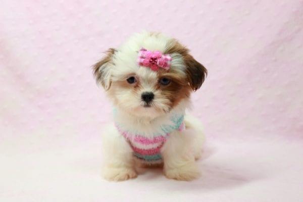Khloe Kadashian - Teacup Shih Tzu Puppy In L.A Found A new loving Home -0