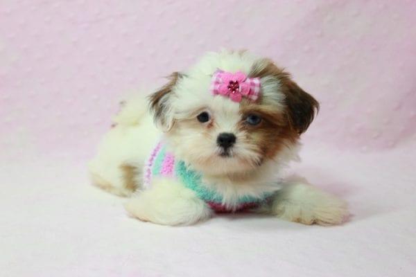 Khloe Kadashian - Teacup Shih Tzu Puppy In L.A Found A new loving Home -11894