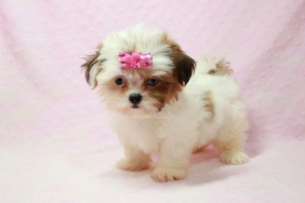Khloe Kadashian - Teacup Shih Tzu Puppy In L.A Found A new loving Home -11895