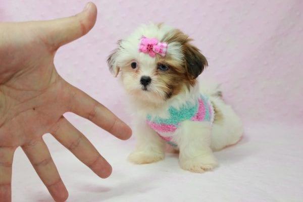 Khloe Kadashian - Teacup Shih Tzu Puppy In L.A Found A new loving Home -11890