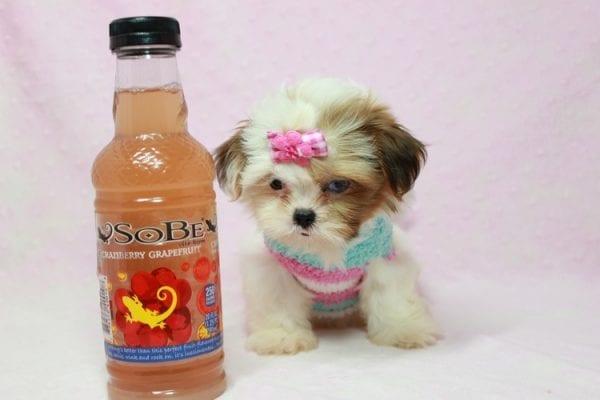 Khloe Kadashian - Teacup Shih Tzu Puppy In L.A Found A new loving Home -11891