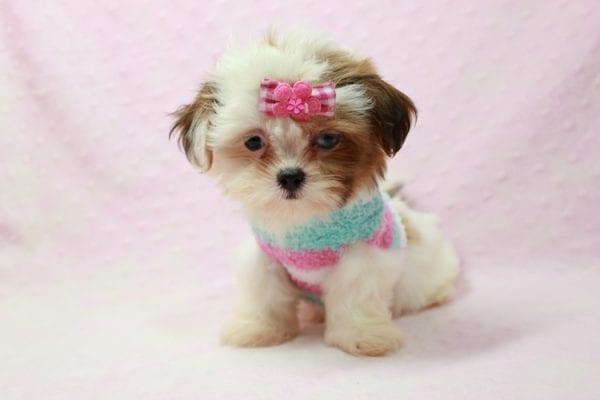 Khloe Kadashian - Teacup Shih Tzu Puppy In L.A Found A new loving Home -11893