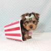 cute teacup Yorkie puppy in Las Vegas