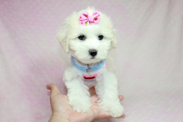 Lucky - Toy Maltese Puppy Found her Loving Home with Eric from Wilmington DE -12271