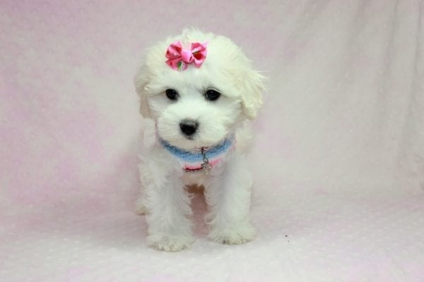Lucky - Toy Maltese Puppy Found her Loving Home with Eric from Wilmington DE -12268