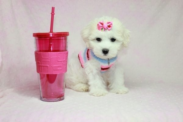 Lucky - Toy Maltese Puppy Found her Loving Home with Eric from Wilmington DE -12266