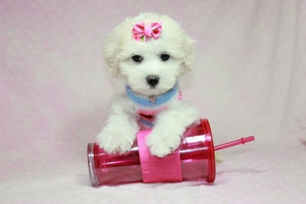 Lucky - Toy Maltese Puppy in CA