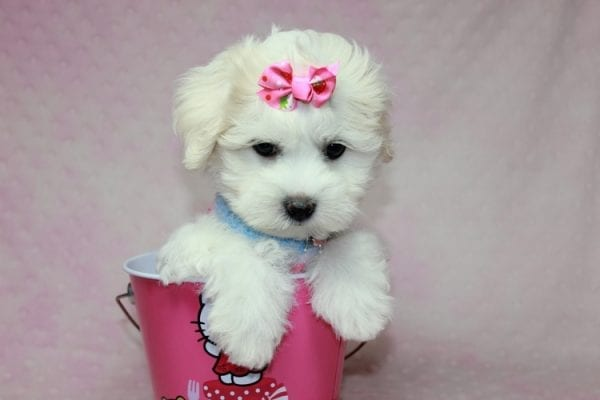 Lucky - Toy Maltese Puppy Found her Loving Home with Eric from Wilmington DE -12267