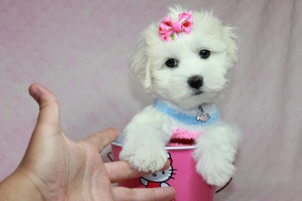 Lucky - Toy Maltese Puppy Found her Loving Home with Eric from Wilmington DE -12269