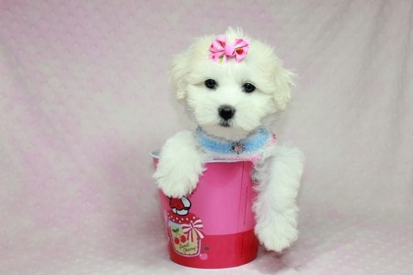 Lucky - Toy Maltese Puppy Found her Loving Home with Eric from Wilmington DE -12261