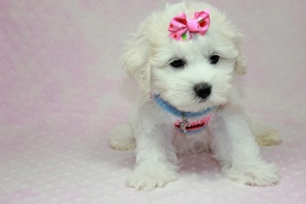 Lucky - Toy Maltese Puppy Found her Loving Home with Eric from Wilmington DE -12272