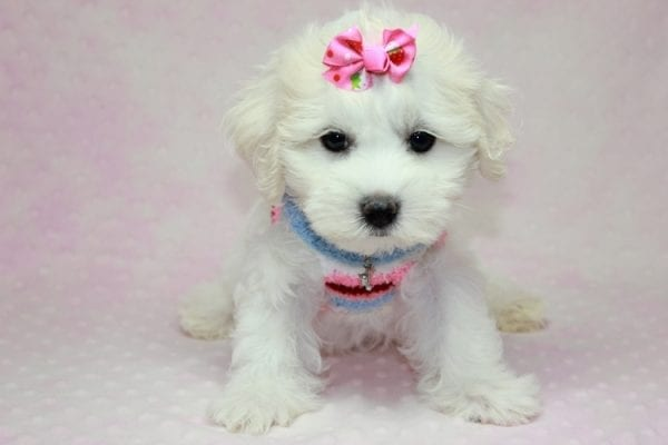 Lucky - Toy Maltese Puppy Found her Loving Home with Eric from Wilmington DE -12264