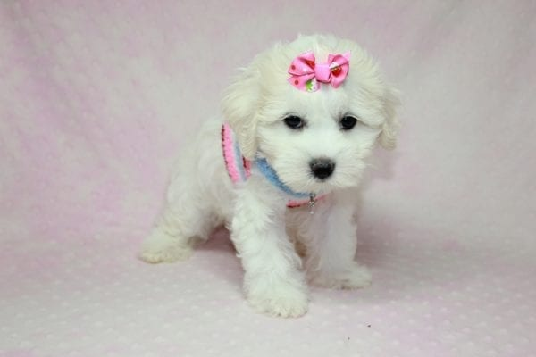 Lucky - Toy Maltese Puppy Found her Loving Home with Eric from Wilmington DE -12263