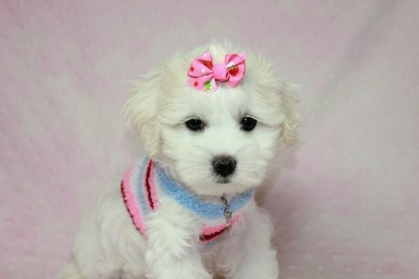 Lucky - Toy Maltese Puppy Found her Loving Home with Eric from Wilmington DE -12260