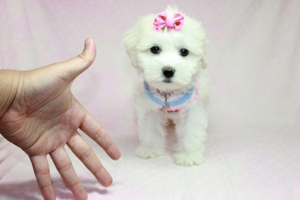 Lucky - Toy Maltese Puppy Found her Loving Home with Eric from Wilmington DE -12265