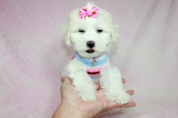 Lucky - Toy Maltese Puppy Found her Loving Home with Eric from Wilmington DE -12273