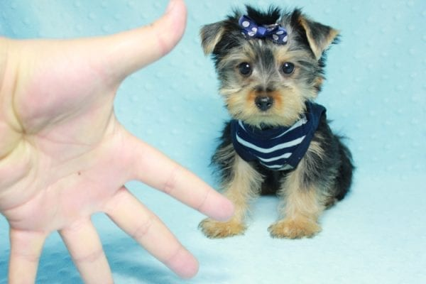 Madagascar - Teacup Yorkie Puppy In Los Angeles found a new loving home with ray from Oxnard Ca-0