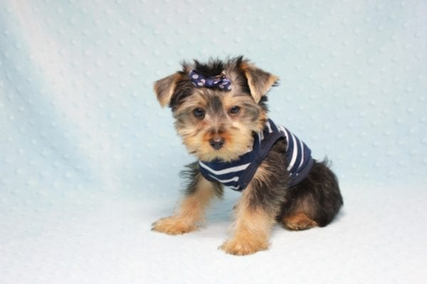 Madagascar - Teacup Yorkie Puppy In Los Angeles found a new loving home with ray from Oxnard Ca-11896