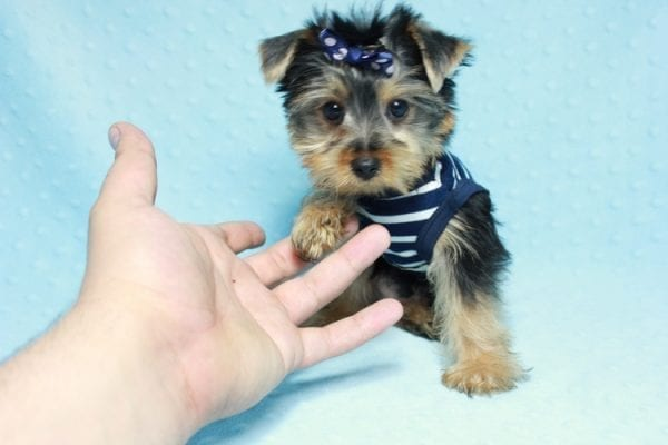 Madagascar - Teacup Yorkie Puppy In Los Angeles found a new loving home with ray from Oxnard Ca-11898