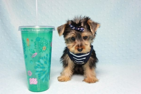Madagascar - Teacup Yorkie Puppy In Los Angeles found a new loving home with ray from Oxnard Ca-11901