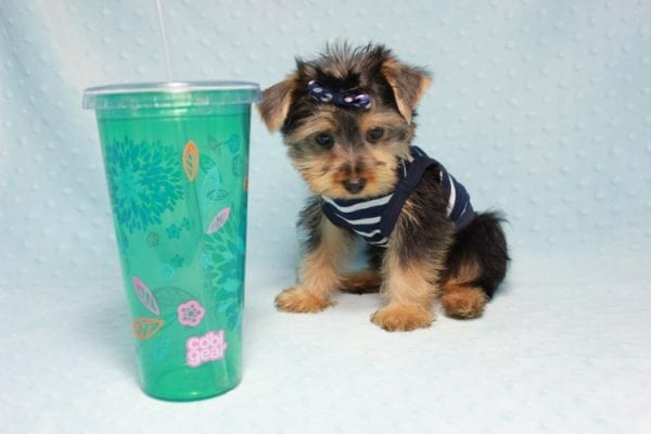 Madagascar - Teacup Yorkie Puppy In Los Angeles found a new loving home with ray from Oxnard Ca-11903