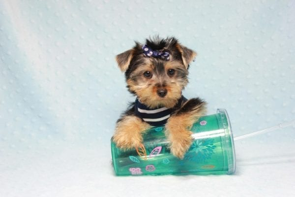Madagascar - Teacup Yorkie Puppy In Los Angeles found a new loving home with ray from Oxnard Ca-11902