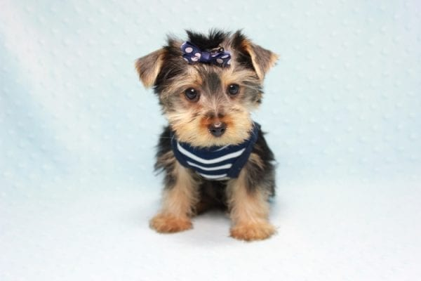Madagascar - Teacup Yorkie Puppy In Los Angeles found a new loving home with ray from Oxnard Ca-11897
