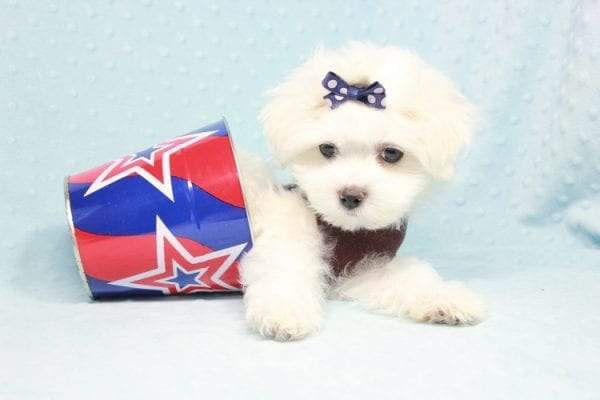 Max - Teacup Maltese Puppy in CA
