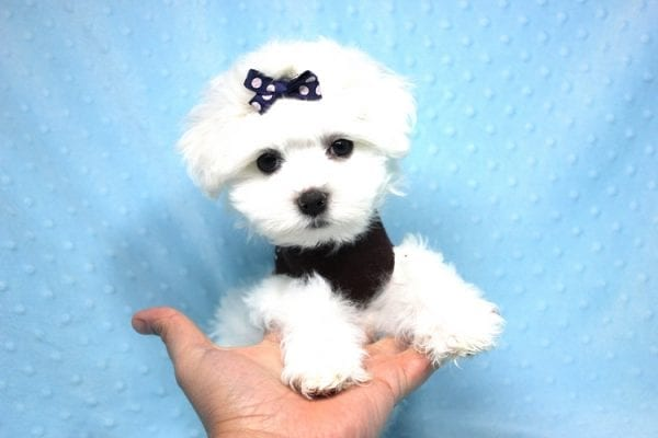 Max - Toy Maltese Puppy found his loving home with Christine in Diamond Bar, CA-12281