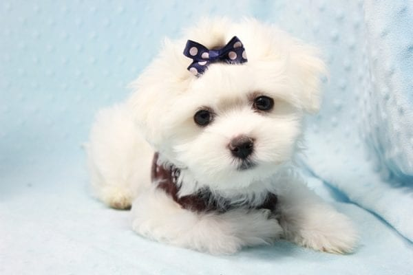 Max - Toy Maltese Puppy found his loving home with Christine in Diamond Bar, CA-12279