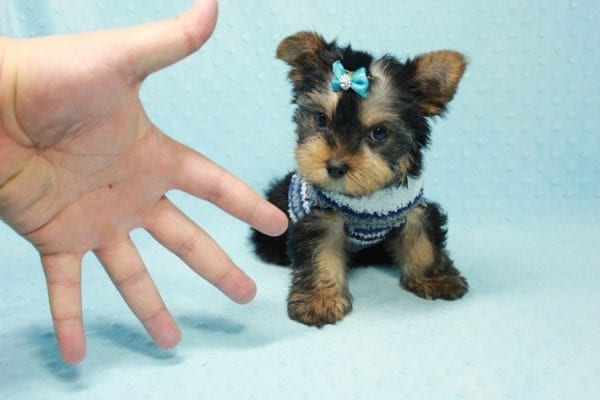 Michael Phelps - Teacup Yorkie Puppy In L.A found A New Loving Home -12015