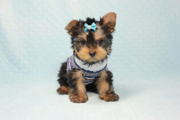 Michael Phelps - Teacup Yorkie Puppy In L.A found A New Loving Home -12017
