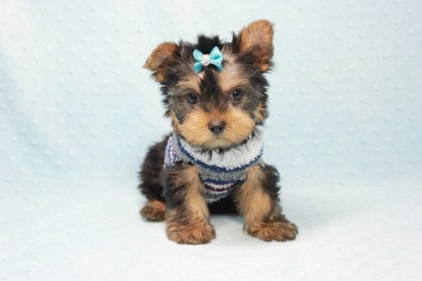 Michael Phelps - Teacup Yorkie Puppy In L.A found A New Loving Home -12013